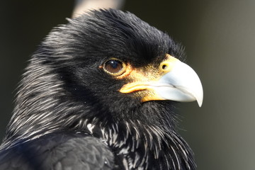 Canvas Prints Eagle Headshot of a striated caracara.