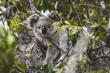 Photo Stands Koala Koala beer in the tree