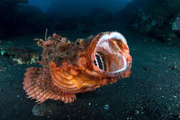 Incredible Underwater World - scorpion fish. Tulamben, Bali, Indonesia.