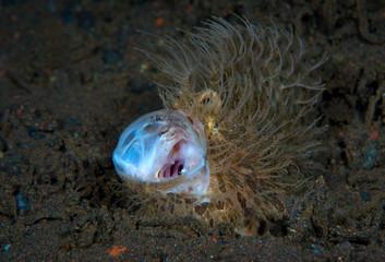 Amazing underwater world - Hairy frogfish - Antennarius striatus. Tulamben, Bali, Indonesia.