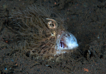 Amazing underwater world - Hairy frogfish - Antennarius striatus. Tulamben, Bali, Indonesia.