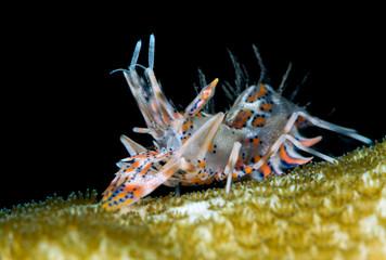 Amazing underwater world - Spiny tiger shrimp - Phyllognathia ceratophthalma.  Tulamben, Bali, Indonesia.