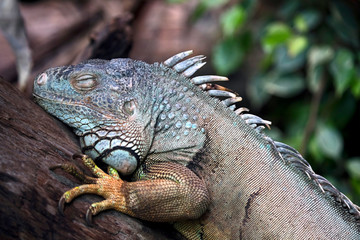 Green iguana's head. Latin name - Iguana iguana