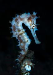 Incredible underwater world - Thorny seahorse - Hippocampus histrix. Macro photography. Tulamben, Bali, Indonesia.