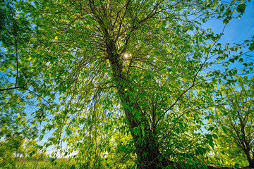 the sun behind a tree with spring leaves