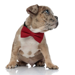 American bully puppy wearing a bowtie sitting