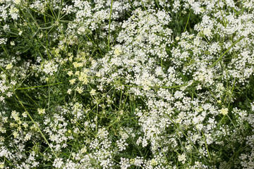 Summer elegant background of white small flowers. Copy space.