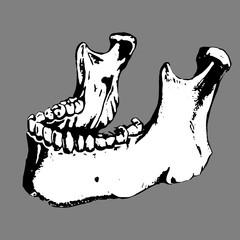 Anatomic human jaw. Bone, skeleton