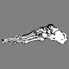 Anatomical plural feet skeleton bone