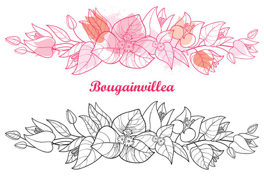 Horizontal border of outline Bougainvillea or Buganvilla flower, bud and leaf in black and pink isolated on white background.