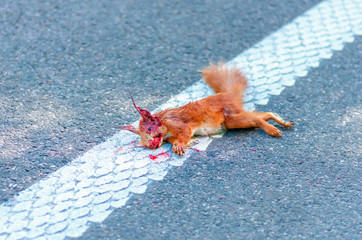 Adult squirrel hit by car on highway in forest.