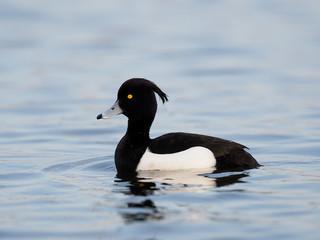 Fotoväggar - Tufted duck, Aythya fuligula