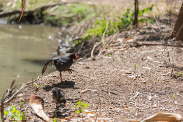 Vogel mit rotem Schnabel stakst aus dem Wasserloch