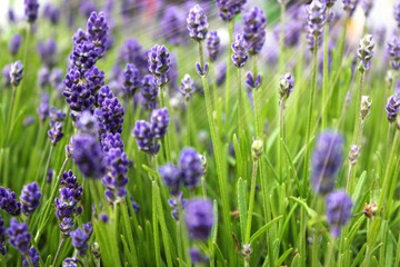 Focus on lavender flower with sunlight