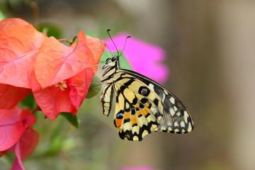 beautiful yellow butterflies perch on flowers in the wild. Rhopalocera Lepidoptera Insecta Arthropoda Animalia  Vanessa cardui