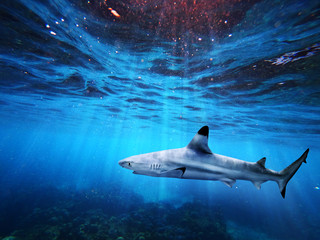 Blacktip reef shark swiming in deep blue sea with light rays underwater Wall mural