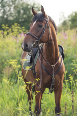 portrait of sportive horse on meadow