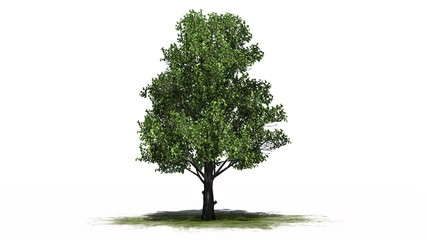 Sugar Maple tree on a green area - separated on white background