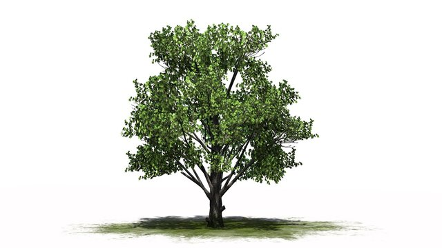 single Sugar Maple tree on a green area - separated on white background