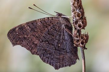 Magnifico ritratto di farfalla occhio di pavone (Aglais io)