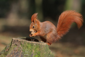 Art view on wild nature. Cute red squirrel with long pointed ears in autumn scene . Wildlife in November forest. Squirrel sitting on the stump with a nut. Sciurus vulgaris