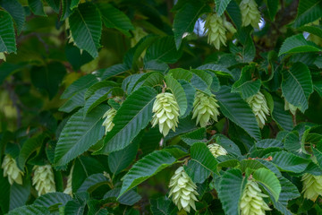 Ostrya carpinifolia Hopfenbuche