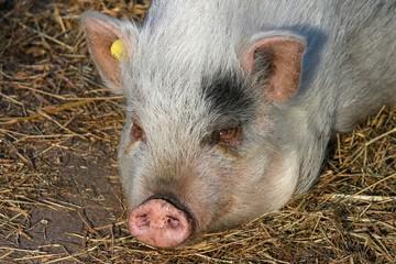 Hausschwein im Stall in Nahaufnahme