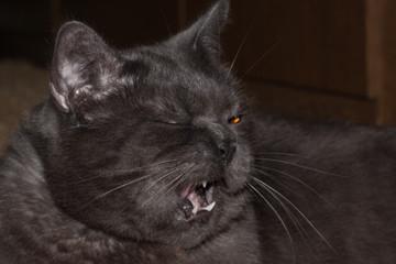 gray british cat yawns