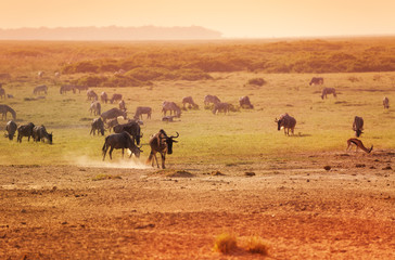 Group of wildebeests game in national reserve