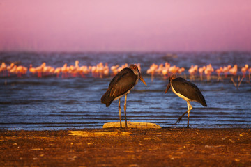 Two marabou birds and pink flamingoes on the lake