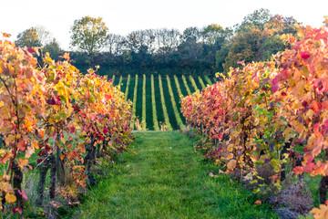 Denbies vineyard, Dorking, Surrey, England, UK