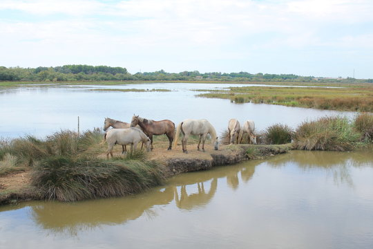 White horses in the botanical and zoological nature reserve of Camargue, France