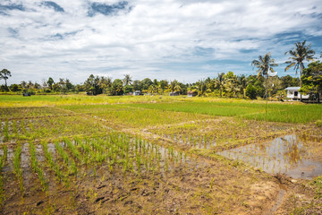 BORNEO / SARAWAK / MALAYSIA / JUNE 2014: Rice fields in the area of Kuching