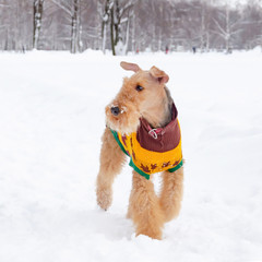 The airedale terrier. Young energetic dog walks. Walking outdoors in the winter.  How to protect your pet from hypothermia.