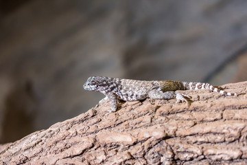 The lizard (latin name Sauromalus obesus) on the rock. Detail of reptile animal