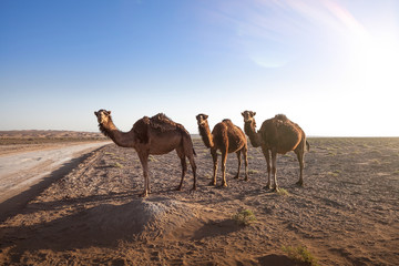 Animals in the desert. Lens and light effects. Calm outback in the salt and sand desert of Iran. Great landscapes in a very dry and hot wasteland.