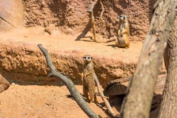 Meerkat animal (latin name Suricata Suricatta) in the wild. Detail of african animal walking on the ground. Watchful guarding animal is guarding on nearby area