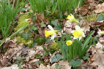 Papiers peints Narcisse Narcisse