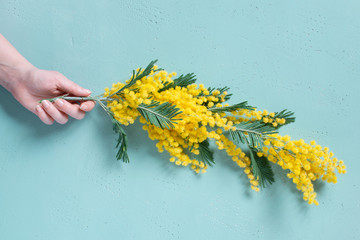 Wall Mural - Female hand holding the mimosa branch on the blue background