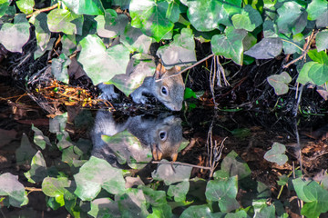 Mirror image water reflection as a grey squirrel drinks water from a river whilst hiding under vegetation