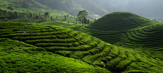 Tea Field Plantation