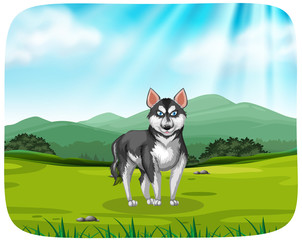 A husky in the pack background