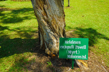 melaleuca cajuputi powell moluccas tree with banner name on top of green grass
