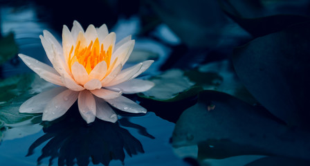 Lotus flower in pond. Wall mural