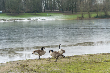 Canadian geese near to the water