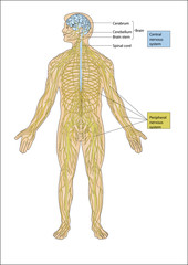 Illustration of a human figure consisting of brain and spine. Spinal cord. anatomy of the central nervous system. central and peripheral nervous system