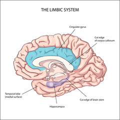 emotional intelligence. The limbic system. Anatomy of the Central nervous system. Human brain. The management of emotions. Physiology. neurology.