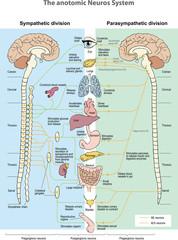 The anotomic Neuros System. Sympathetic division. Parasympathetic division.