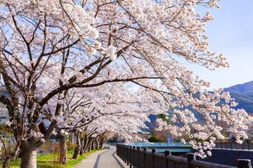 河口湖畔の桜、山梨県富士河口湖町河口湖にて