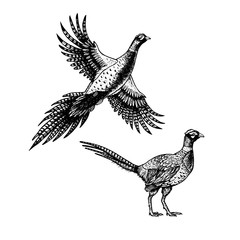 Hand drawn pheasant. Skethes of birds. Vector vintage illustration.